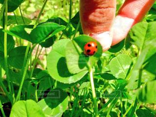てんとう虫の写真・画像素材[1291576]