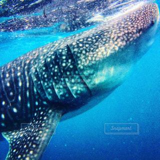 ジンベエザメと一緒に泳いでるの写真・画像素材[2419699]