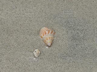 貝がツヤツヤピカピカの写真・画像素材[1291896]