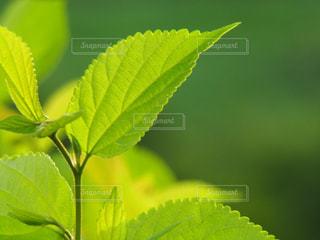 緑の葉の写真・画像素材[1291988]