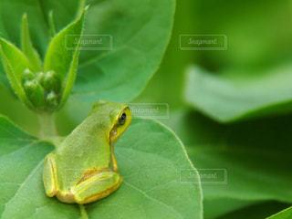 緑のカエルの写真・画像素材[1303327]