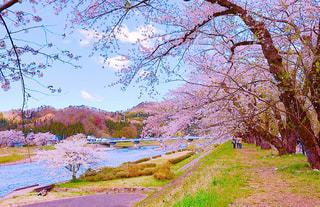 角館の桜並木の写真・画像素材[1708895]