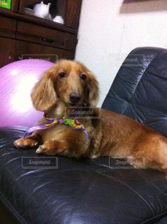 ソファの上に横たわるかわいい茶色の犬の写真・画像素材[1293848]