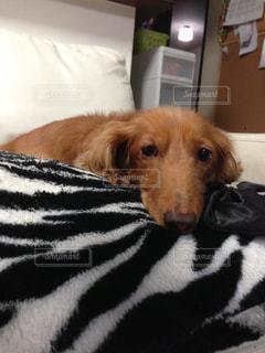 ベッドの上に横たわる犬の写真・画像素材[1293957]