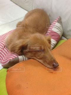 ベッドの上に横たわる大きな茶色の犬の写真・画像素材[1294228]