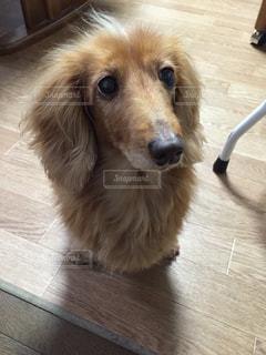 木製の床の上に座っている犬の写真・画像素材[1296336]