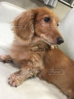 地面に横たわっている大きな茶色の犬の写真・画像素材[1312853]