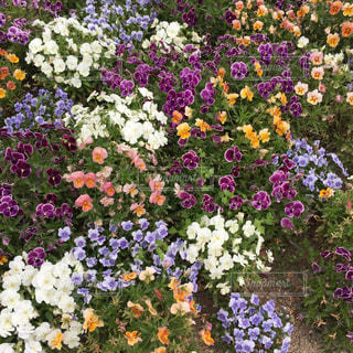 紫色の花一杯の花瓶の写真・画像素材[1296038]