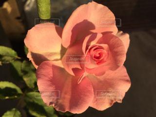 近くの花のアップの写真・画像素材[1296310]