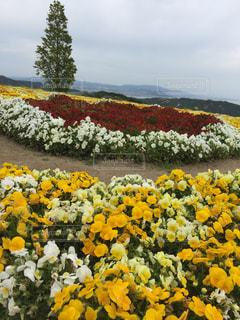 フィールド内の黄色の花の写真・画像素材[1303682]