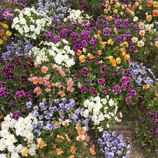 紫色の花一杯の花瓶の写真・画像素材[1305710]