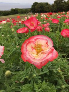 植物にピンクの花の写真・画像素材[1305927]