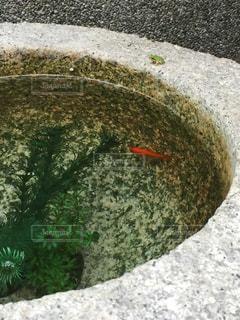 金魚とアマガエルの写真・画像素材[1409633]