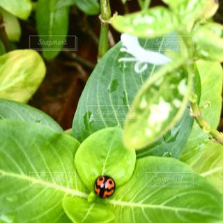 日々草とてんとう虫の写真・画像素材[2428773]