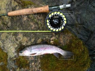 フライフィッシングでニジマス釣りの写真・画像素材[1326110]