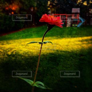 赤い花の写真・画像素材[1326660]