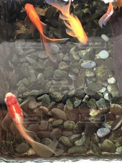 水の中を踊る金魚たちの写真・画像素材[1390627]