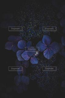 紫陽花の写真・画像素材[2302571]