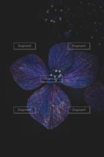 紫陽花の写真・画像素材[2302572]