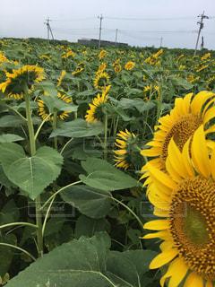 黄色の花の写真・画像素材[1314147]