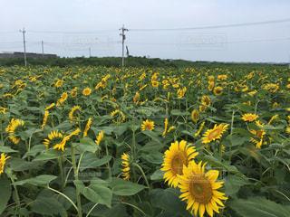 フィールド内の黄色の花の写真・画像素材[1314148]