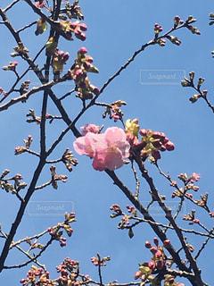 桜とツボミの写真・画像素材[1463093]