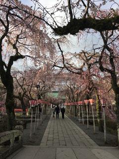 桜と参道の写真・画像素材[1463096]