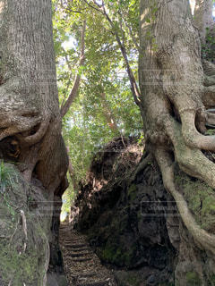 森の大きな木の写真・画像素材[1775750]