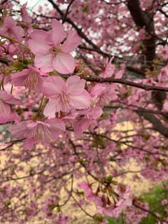 河津桜の写真・画像素材[4559018]