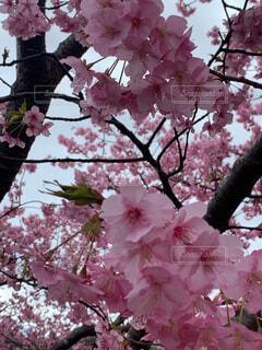 河津桜の写真・画像素材[4559020]