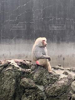 サルの写真・画像素材[4638130]