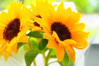 向日葵の写真・画像素材[1297148]
