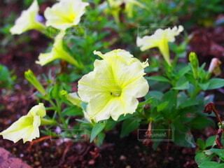 花園のペチュニアの写真・画像素材[3707445]