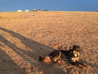 黄昏犬の写真・画像素材[832129]