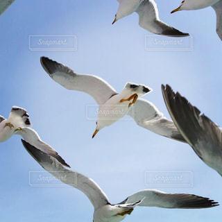 空を飛んでいるカモメの群れの写真・画像素材[1711984]