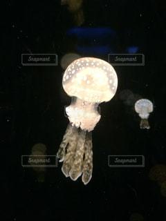 クラゲの写真・画像素材[1316296]