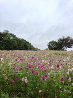 万博公園のコスモス畑。の写真・画像素材[1325960]