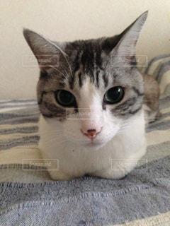 横になって、カメラを見ている猫の写真・画像素材[1297359]