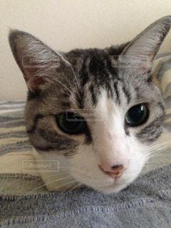 横になって、カメラを見ている猫の写真・画像素材[1297654]