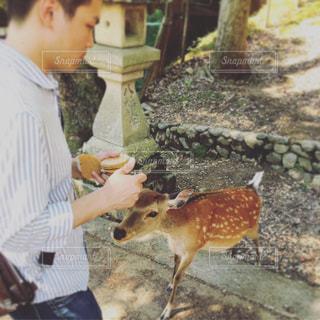 子鹿に鹿せんべいをやる男性の写真・画像素材[1296872]