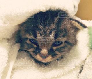生後十日の子猫の写真・画像素材[1296900]