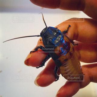 アルゼンチンゴキブリと手の写真・画像素材[1297711]