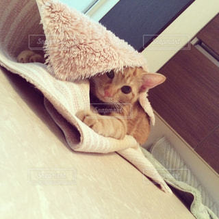 バスマットにじゃれつく猫の写真・画像素材[1297712]