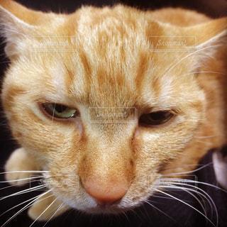 ご機嫌斜めの茶トラ猫の写真・画像素材[1297720]