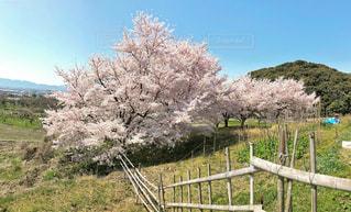 青空と満開の桜の写真・画像素材[1297878]