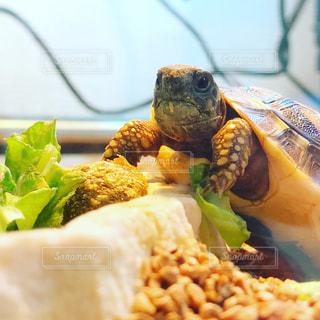 食事中のヘルマンリクガメの子どもの写真・画像素材[1299880]