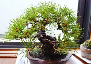 五葉松の盆栽の写真・画像素材[1301203]