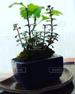 イチョウと麒麟草のモダン盆栽の写真・画像素材[1302633]