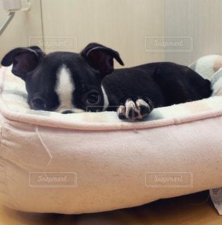 上目遣いのボストンテリアの子犬の写真・画像素材[2611288]