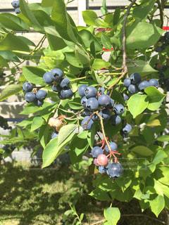 木からぶら下がって果物のグループの写真・画像素材[1297091]